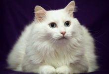 Gatto – Angora turco