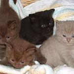 Chocolate, lilac & black Brit Kittens