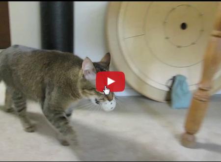 Questo gattino va a caccia per mangiare il tutto avviene all'interno di un appartamento.