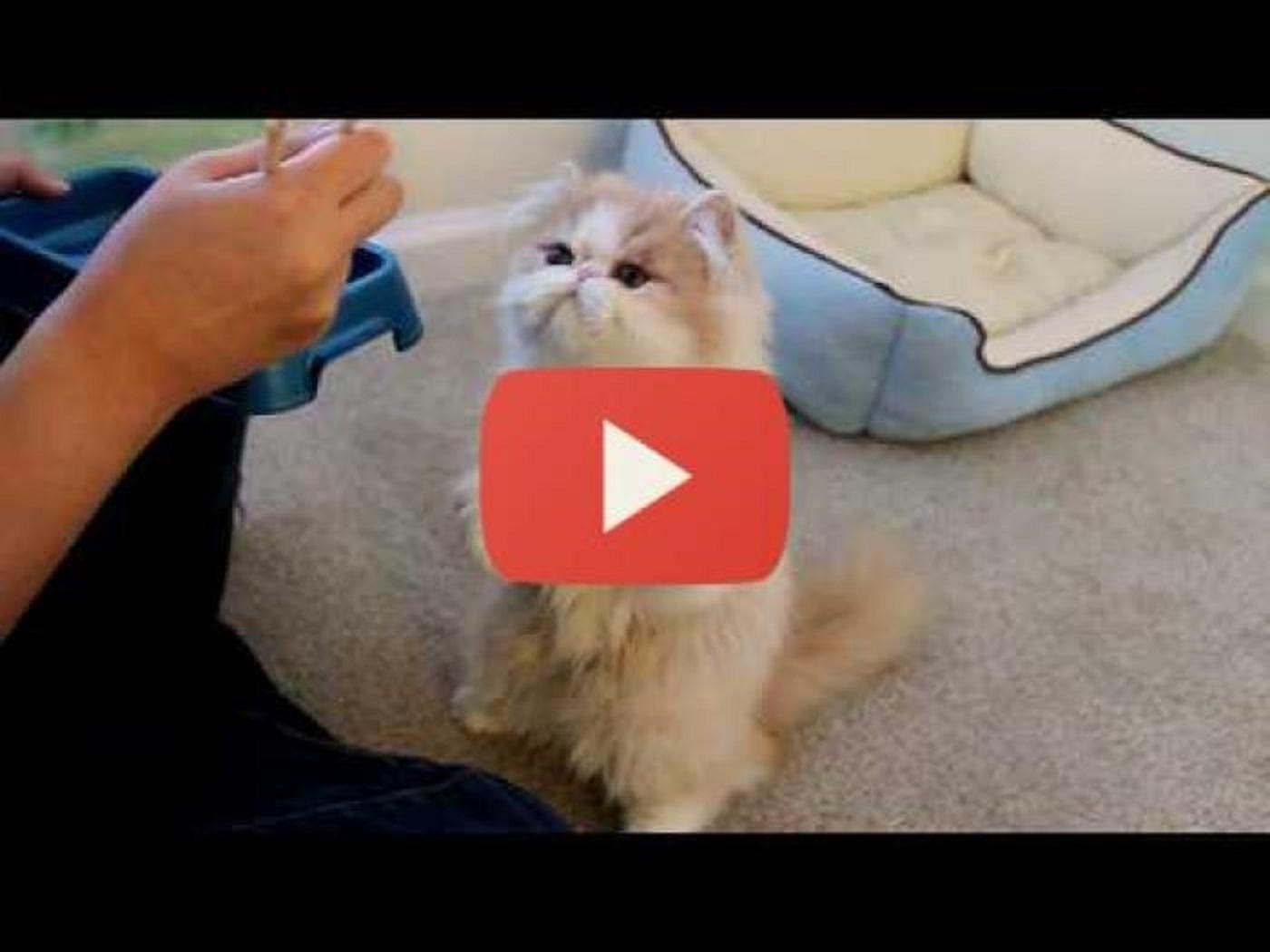 Gatto mangia con le bacchette per appassionati di gatti for Cosa mangia il gatto