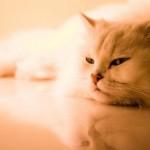 gatto_persiano_1440x900