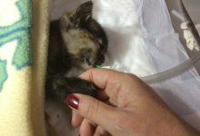 """Operata una gattina di 290 grammi: nuovo """"miracolo"""" alla Clinica Duemari"""