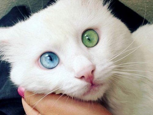 Alos, il gatto con un occhio blu ed uno verde