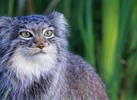 I gatti più pelosi del mondo avranno la loro riserva