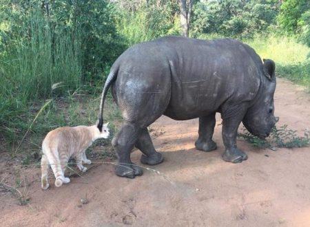 Il rinoceronte rimasto orfano a causa del bracconaggio, ha trovato in un gatto il fratello che non ha mai avuto