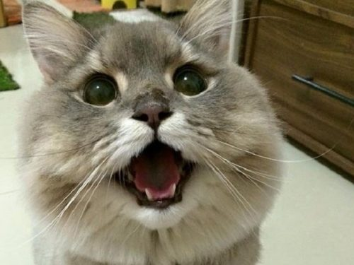 Bone Bone il gatto più soffice del mondo