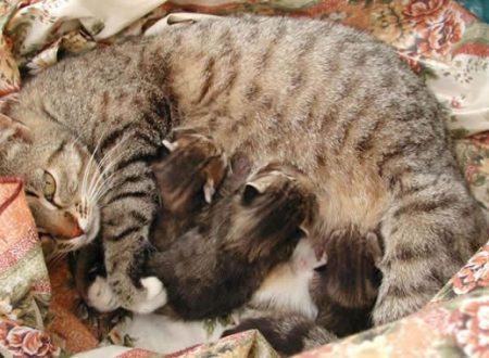 Misteri del gatto di casa: Quando la gatta deve partorire ha spesso l'abitudine di chiedere aiuto all'umano