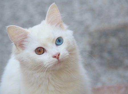 Angora turco, l'antico gatto dei desideri