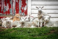 Steve il gatto pastore