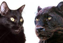 Similitudini tra gatti domestici e grandi felini