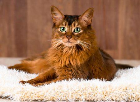 Somalo (gatto)