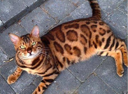 Il gatto Bengala