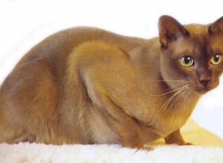 Burmese (gatto)
