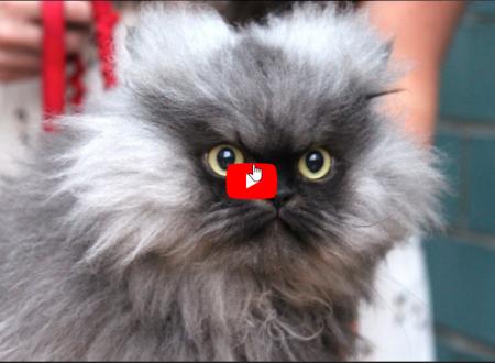 Il colonnello Meow il gatto con il pelo più lungo del mondo