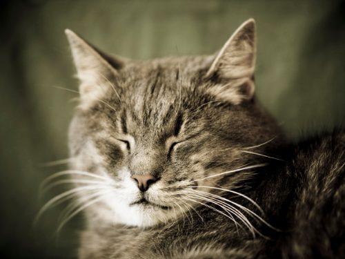 Scoperto l'Alzheimer nei gatti