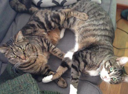 Due gatti vicini di casa si danno appuntamento ogni giorno da tre anni per giocare insieme