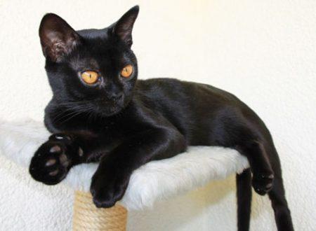 Bombay americano – gatto