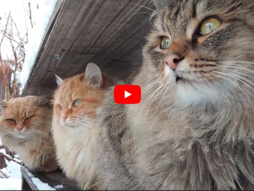 Anche sul gatto siberiano le leggende si perdono nel tempo