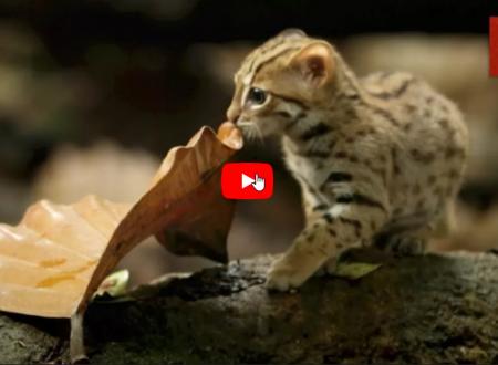 Un nuovo programma della Bbc ha svelato quello che si crede possa essere il gatto più piccolo del mondo