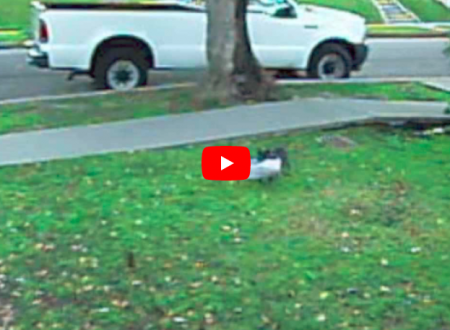 Becca il suo gatto mentre ruba il giornale dai vicini