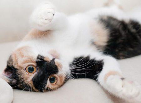 La gravidanza isterica nel gatto – Sintomi e rimedi