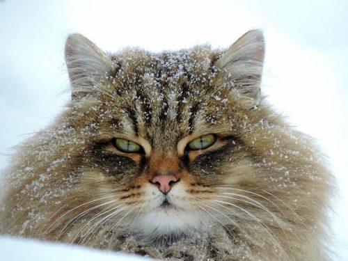 Koshlandia, la terra dei gatti della Siberia