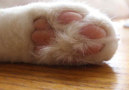 Proteggere i polpastrelli del gatto con questo freddo