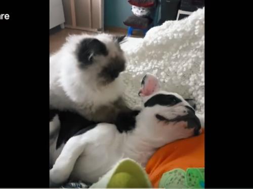 Un adorabile momento il gatto Sushi massagia il suo amico cane