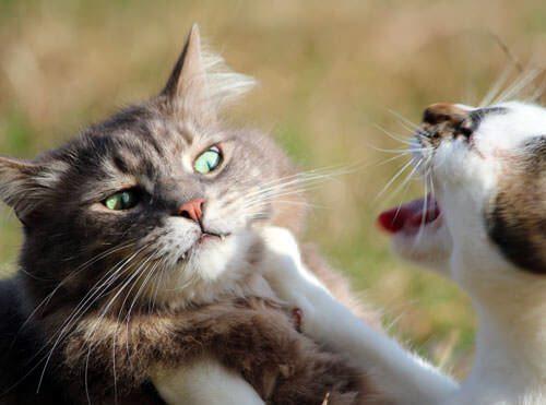 Gatti che litigano in casa, è giusto intervenire