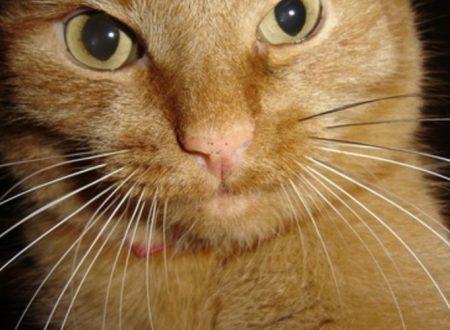 Cosa succede se il gatto perde i baffi ? I baffi dei gatti ricrescono ?