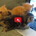Piccoli gattini conversano con i gatti al computer