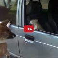 Se volete difendere la macchina dai ladri, lasciate il cane a casa e portate un gatto.