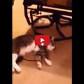 Il gatto si finge morto per non andare a fare la passeggiata