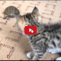 Entra un nuovo inquilino in casa la reazione del gatto è esilarante.