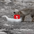 storia di amicizia e affetto quella nata tra una volpe e un gatto
