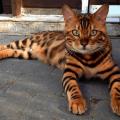 Thor il gatto che assomiglia in tutto per tutto a una tigre