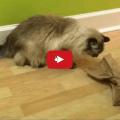Gatti più felici se faticano per ottenere il cibo