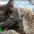 Gatta salva 8 cuccioli di riccio abbandonati