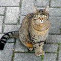 Gatto Europeo.
