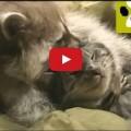 Avete mai visto un gatto e un orsetto lavatore insieme ?