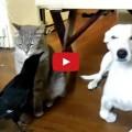 corvo imbocca cane e gatto