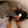 Winston (gatto) si prende cura di Zeke (cucciolo di cane)