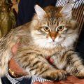 Il siberiano l'unico gatto ipoallergenico