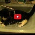 Gatti che amano l'acqua