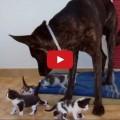 Cane accudisce piccoli gattini