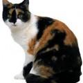 Il colore del pelo rivela il carattere del gatto