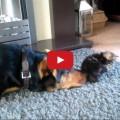 Il cane vuole giocare con il gattino ma lui sta sulle sue