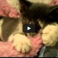 Gattino succhia la lana.