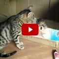 Mamma bengal che parla con suo gattino
