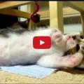 Rocky - Il gattino che si addormenta mentre gioca.